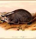 bs na Audubon American Badger