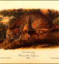 bs na Audubon Canada Lynx