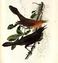 jja 0009 Boat Tailed Grackle Bonnet Carres Church January 4, 1821 sqs