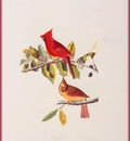 ma Audubon Cardinal