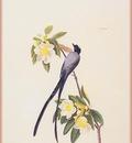 ma Audubon Fly Catcher