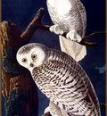 ma Audubon Snowy Owl