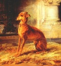 bonheur italian greyhound