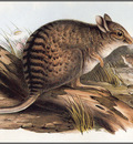 pa AVM end 01 Gould BandedHare Wallaby