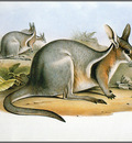 pa AVM end 03 Gould BridledNail TailWallaby