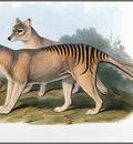 pa AVM ext 07 Gould Thylacine