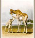 Hills Robert Giraffes sj