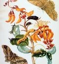 Merian Maria Sibylla Butterflies Sun