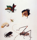 Merian Maria Sibylla Insects Sun