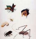 Merian Maria Sibylla Insects Sun