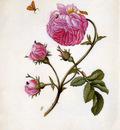Merian Maria Sibylla Roses with butterflies Sun