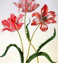 Merian Maria Sibylla Three tulips Sun