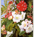 bs flo Marianne North Indian Rhododendrons