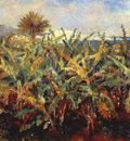 field of banana trees