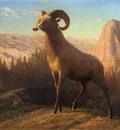 Bierstadt Albert A Rocky Mountain Sheep Ovis Montana